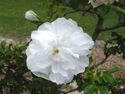 type repeat flowering old