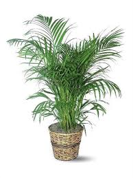 tall office plants. areca palm tall office plants t