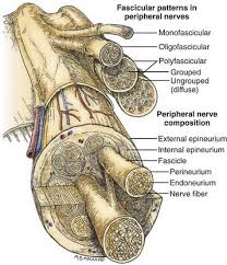 peripheral nerve diagram peripheral database wiring diagram b9781416053163002422 f239 001 97814160531633