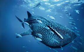 whale shark wallpaper desktop. Simple Whale HD Whale Shark Wallpapers In Wallpaper Desktop A