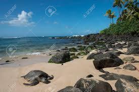 Sea Turtle On The Beach Laniakea Beach Haleiwa North Shore