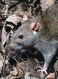Rodents Lower Classifications List Of Rodents Wikipedia