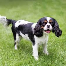 Cavalier Weight Chart Cavalier King Charles Spaniel Information Pictures More
