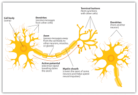 4 1 The Neuron Is The Building Block Of The Nervous System