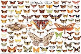 Laminated Moths Of The World Educational Science Chart Poster