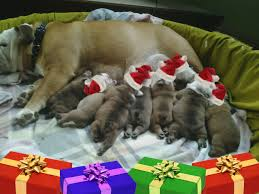 bulldog puppies available