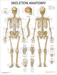 Skeleton Anatomy Chart Poster Laminated