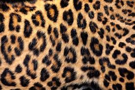 Leopard Pattern Classy Real Leopard Skin Stock Photo © VolodymyrBur 48