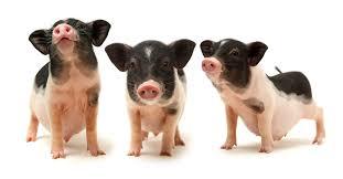 Mazuri Mini Pig Feeding Chart Best Food For Mini Pigs Barkspace