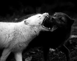 white wolf and black wolf fighting. Wonderful Wolf In White Wolf And Black Fighting Basic Goodness