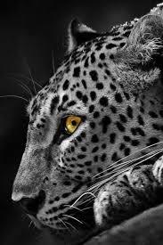 cheetah wallpapers for phone wallpaper zone