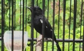 Suara pikat burung decu kembang mp3 & mp4. Mengenal Jenis Burung Decu Makanan Dan Harganya