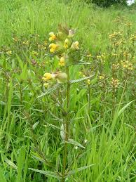 Rhinanthus minor - Wikipedia