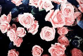 Aesthetic Pink Roses Background ...