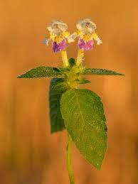 Galeopsis speciosa - Wikipedia