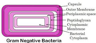 Gram Negative Bacteria Chart Difference Between Gram Positive And Gram Negative Bacteria
