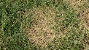 Brown Patch Disease Brown Patch In Turf Nc State Extension Publications