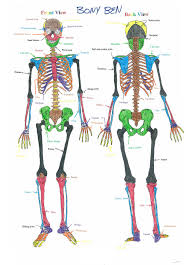 human skeleton diagram   health  medicine and anatomy reference    human skeleton diagram