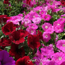 these healthy vigorous plants are great performers when used as bedding plants