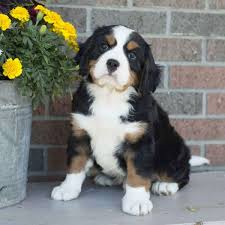 bernese mountain dog miniature puppies for