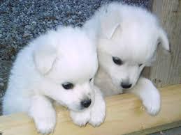 cute siberian husky puppy wallpaper. Contemporary Puppy Siberian Husky Puppies 8  Cute Pictures  Breeds Puppy  Pictures Wallpapers Funny Puppies And Information Throughout Puppy Wallpaper A