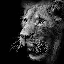 lion portrait black and white. Fine Black Lion Photograph  Portrait Of In Black And White II By Lukas Holas For O