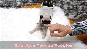 teacup pug full grown.  Pug Adorable Lil Bogart  Lil Bogie Mini Size Pug Expecting 5 To 6 Pounds Full  Grown Boutique Teacup Puppies Throughout Full Grown E