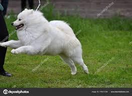 Dog breed samoyed ⬇ Stock Photo, Image ...