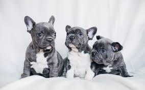 french bulldog puppy wallpaper. Contemporary Puppy French Bulldog Gray Puppies Small Dogs Pets Puppies With Bulldog Puppy Wallpaper P