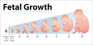 Pregnancy Growth Chart Day By Day Fetal Development The Way It Goes The Peaceful Parents
