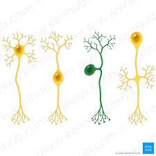Histology Of Neurons Morphology And Types Of Neurons Kenhub