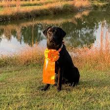 Labrador Retriever pups - Posts | Facebook