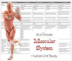 Learn the Muscular System {Third Grade Unit Study} – 3 Boys and a Dog