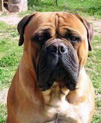 תוצאת תמונה עבור כלב גדול מאוד
