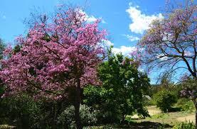 descanso gardens blossoms