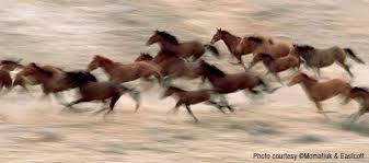wild horses mustang running. Modren Mustang Running Mustangs Throughout Wild Horses Mustang