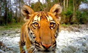 images of tigers. Exellent Tigers In Less Than A Decade The Tiger Population Has Grown From 10 Cats To 22 Throughout Images Of Tigers