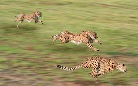 hd wallpaper background image id 350467 2560x1600 cheetah
