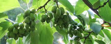 White Oak A North Carolina Native Tree  Grateful Trees U0026 BeesFruit Trees That Grow In Nc