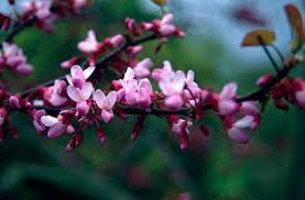 Cercis siliquastrum | Judas tree/RHS Gardening