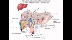 Liver Anatomy Liver Gall Bladder Functional Anatomy