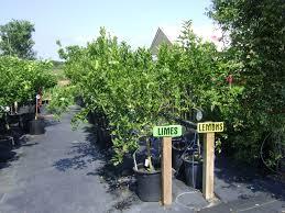 Mature citrus trees for sale