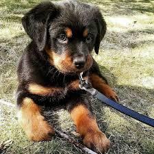baby rottweiler. Interesting Rottweiler My Furry Friends For Baby Rottweiler G