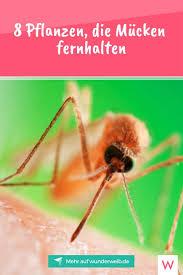 8 Pflanzen Die Mücken Fernhalten Gärten Mücken Fernhalten