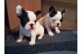 french bulldog puppies and videoa