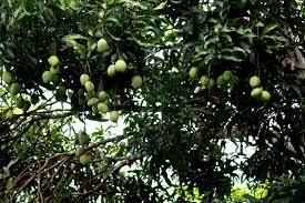 Sour Cherry  La Paz GroupKerala Fruit Trees
