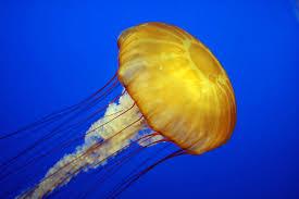Jellyfish Cnidaria Scyphozoa Aurelia Animals A Z Animals