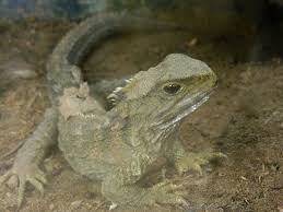 Small Picture Tuatara Wikipedia