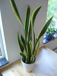 Inspirational Snake Plant Air Purifying House Plants Together With Healthy  Living in Indoor House Plants