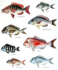 Samoan Fish Chart Sweetlip Emperor Jolthead Porgy Snapper Etc